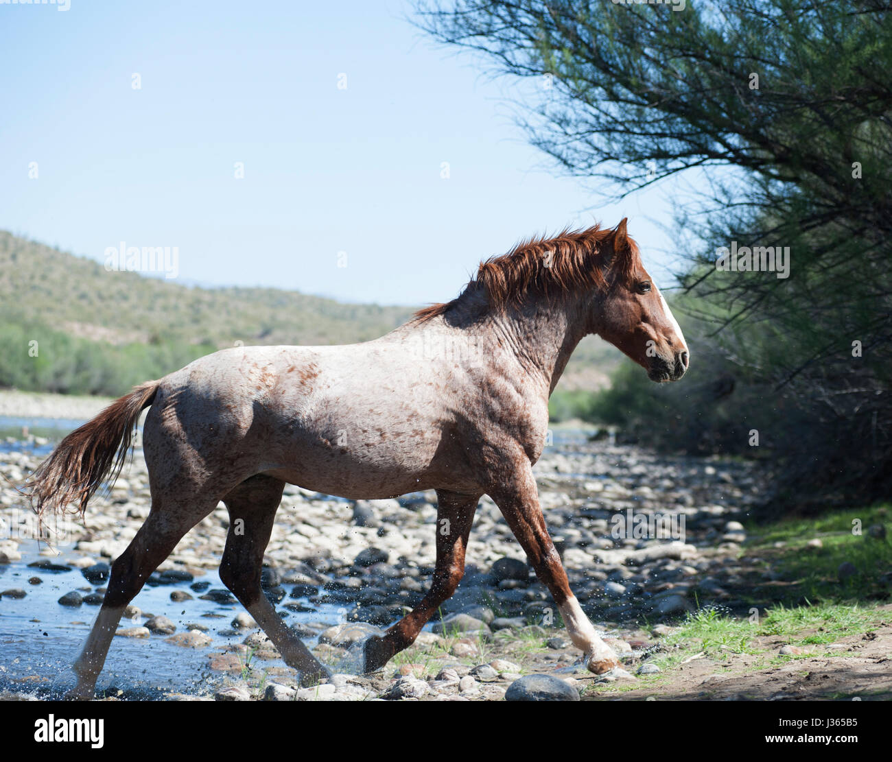 Salt River Wild Horses in Arizona - Stock Image