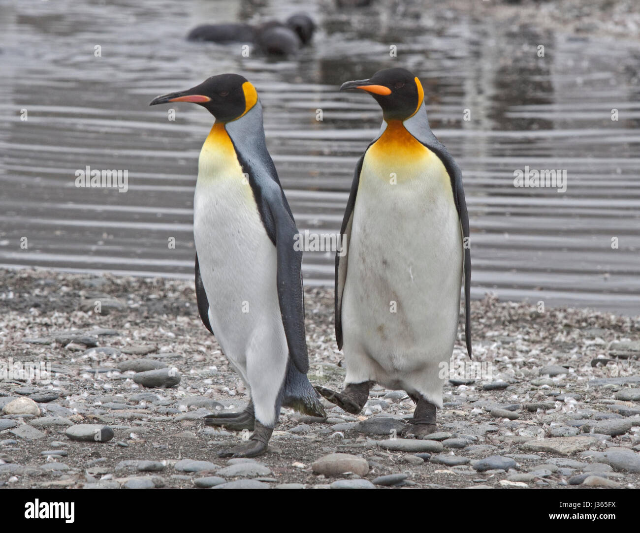 King Penguins (aptenodytes patagonicus), Salisbury Plain, South Georgia - Stock Image