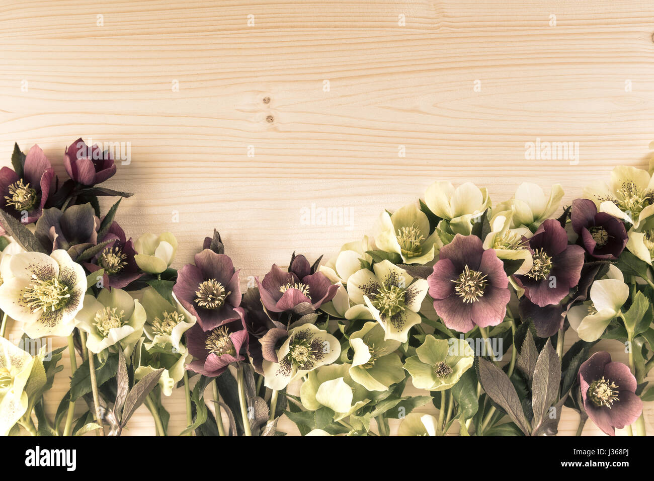 Vintage Spring Flowers Background With Lenten Roses Or Hellebore
