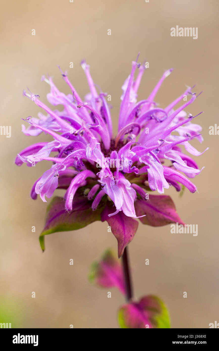 Close-up portrait of a scarlet beebalm - Stock Image