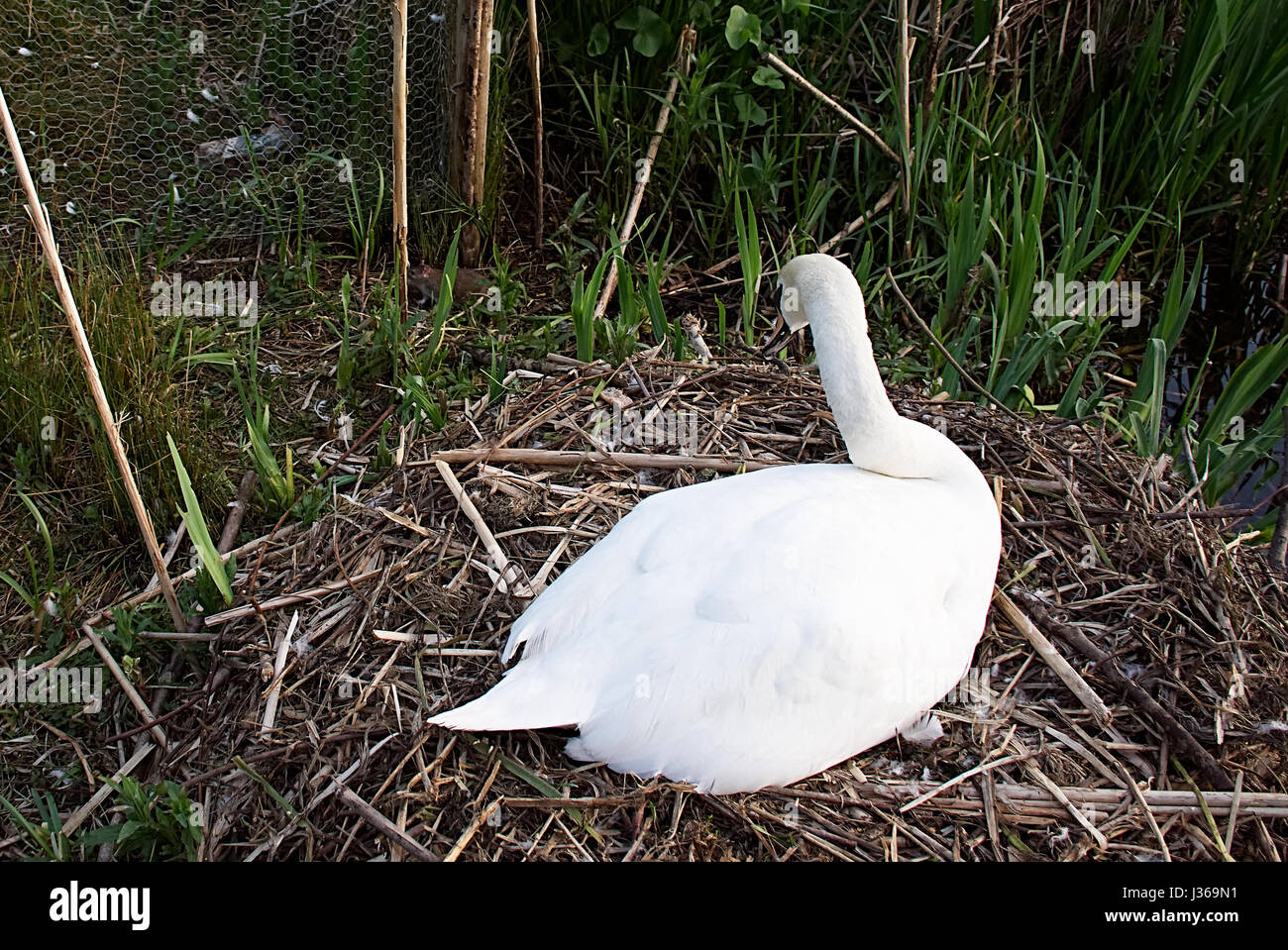 Mother swan on nest protecting her eggs from sneaky rat . - Stock Image
