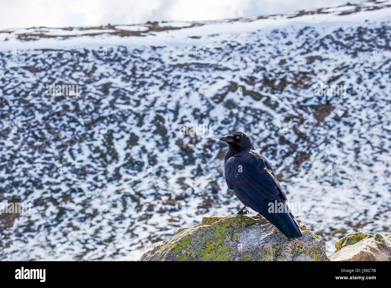 Portrait of Australian Raven at Mount Kosciuszko National Park - Stock Image