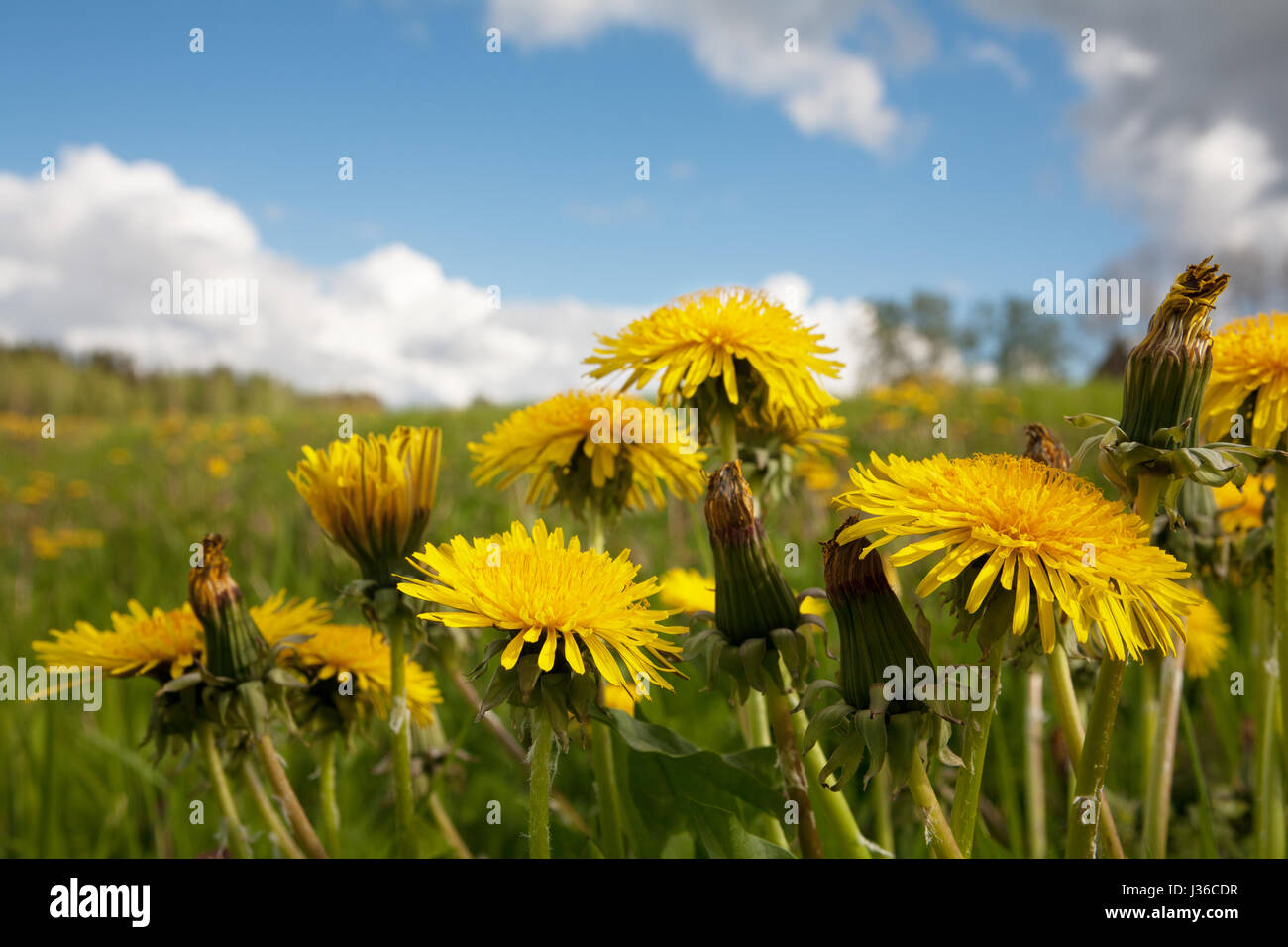 Yellow dandelion flowers with leaves on the wield in green grass. Blue sky in background. - Stock Image
