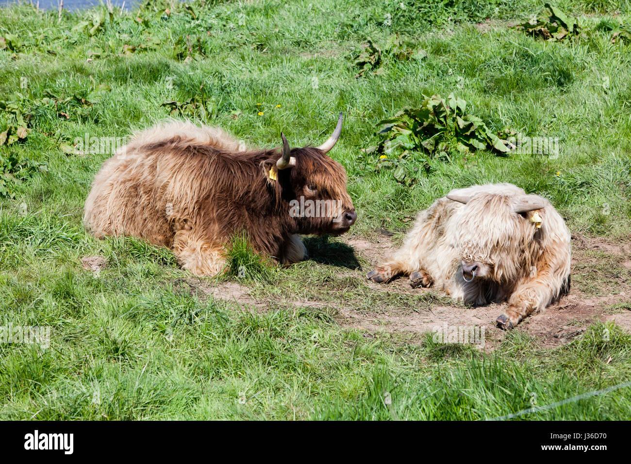 Highland cattle, river Weser, Weser Uplands, Weserbergland, Hesse, Germany - Stock Image