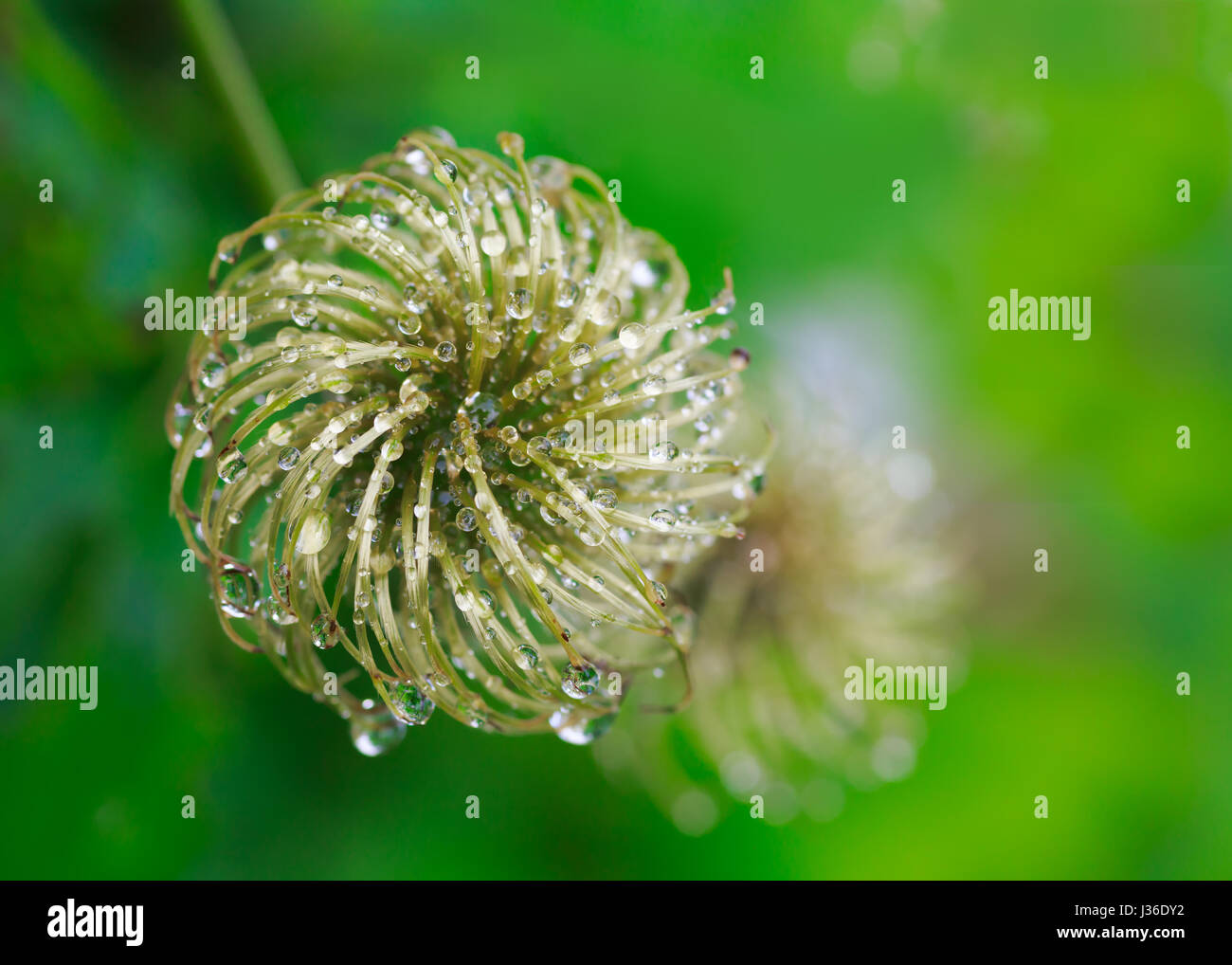 Clematis seed heads covered with water. - Stock Image