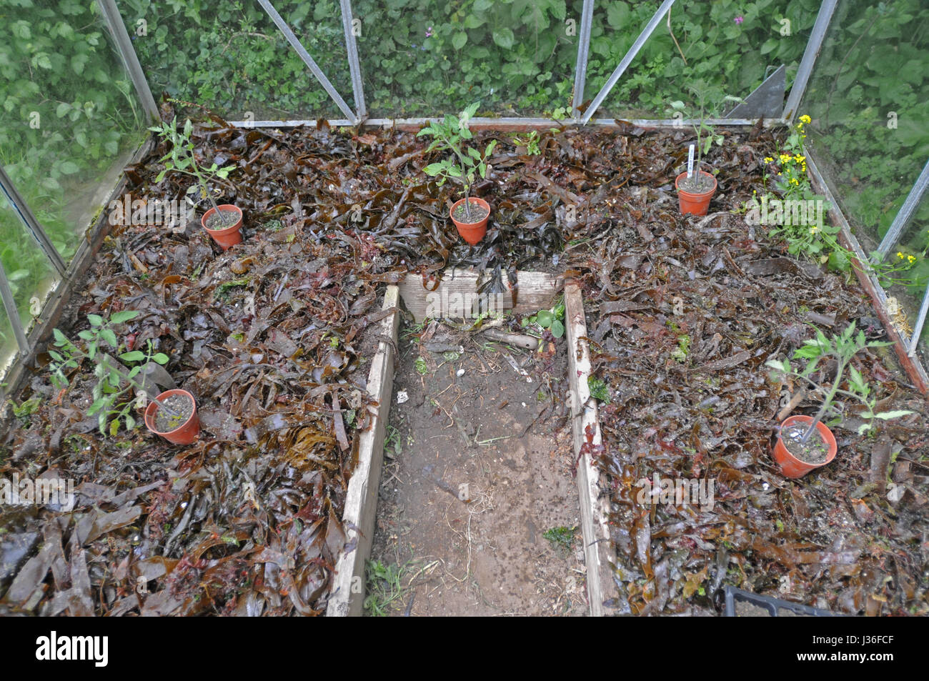 Seaweed laid onto the soil in a greenhouse to increase fertility. Tomato plants positioned before planting. - Stock Image