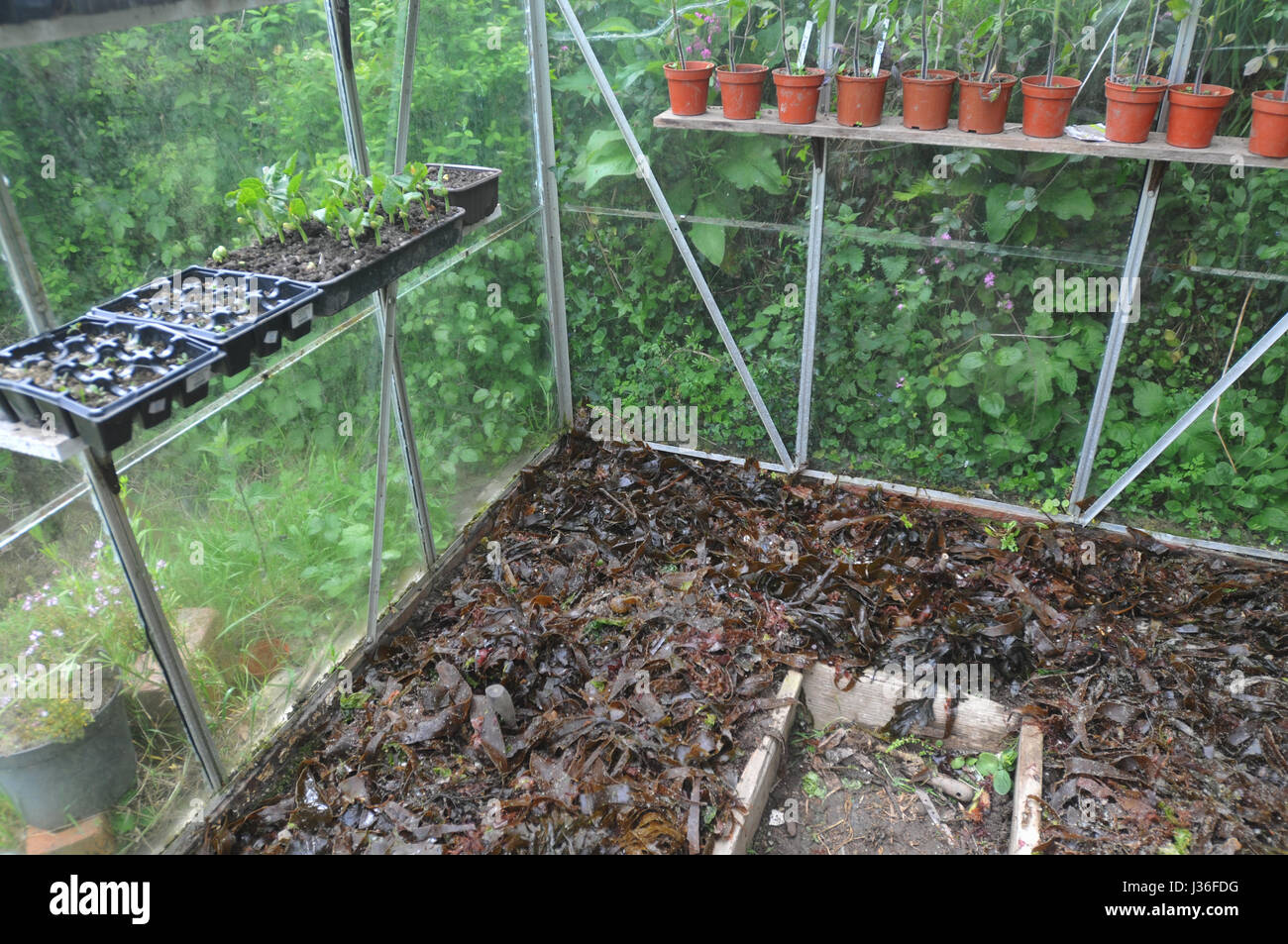 Seaweed laid onto the soil in a greenhouse to increase fertility. - Stock Image