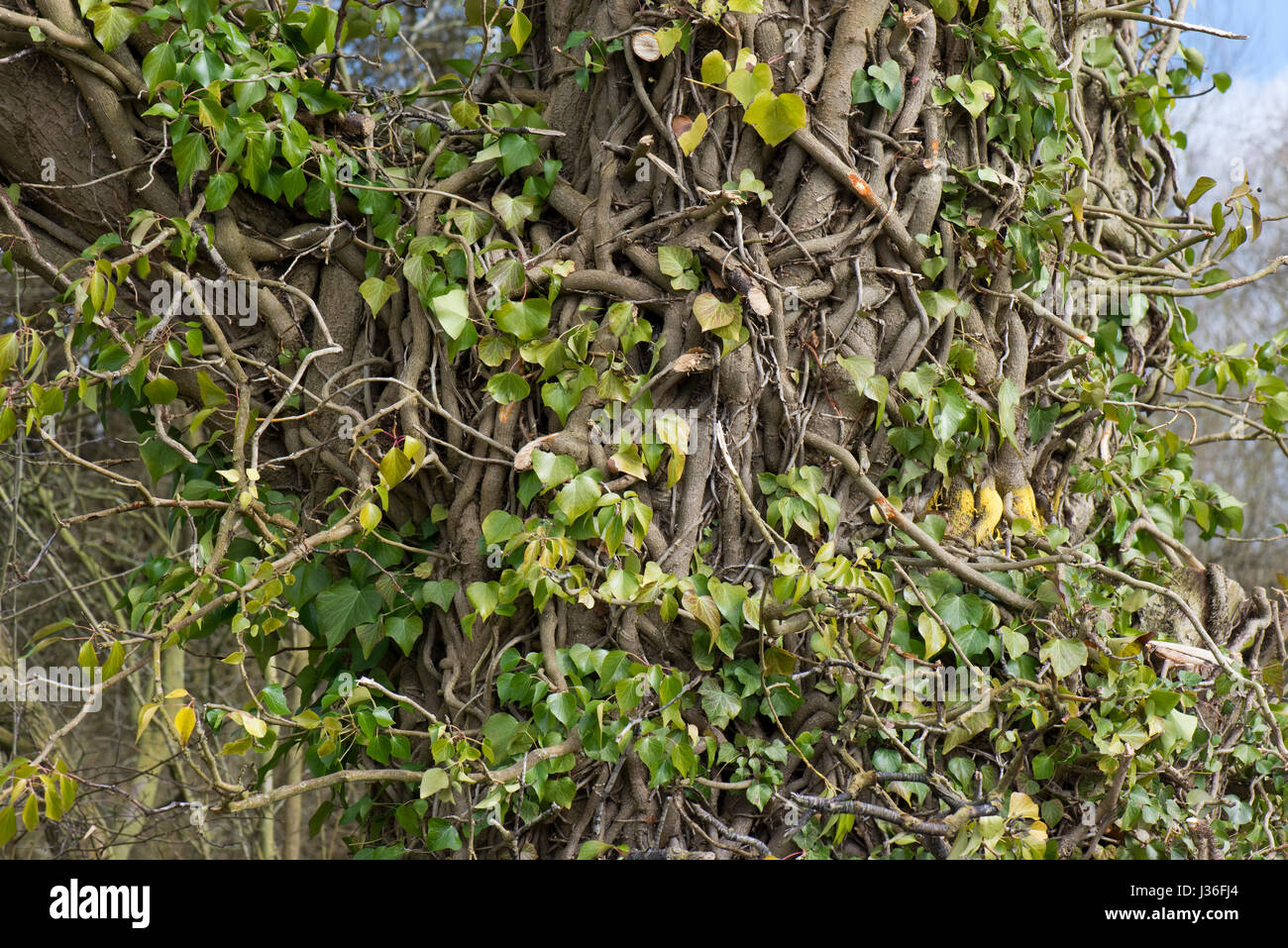 Old and long established common ivy, Hedera helix, twisting and interwoven around the trunk of a tree with the leaves - Stock Image
