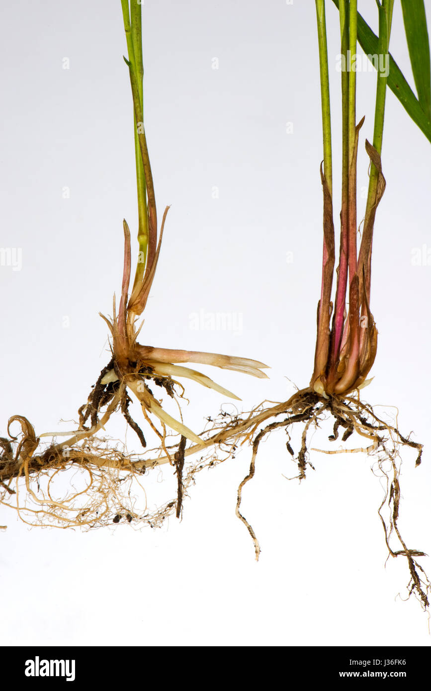 Common couch, Elymus repens, shoots and roots from underground rhizomes of this invasive perennial creeping grass - Stock Image