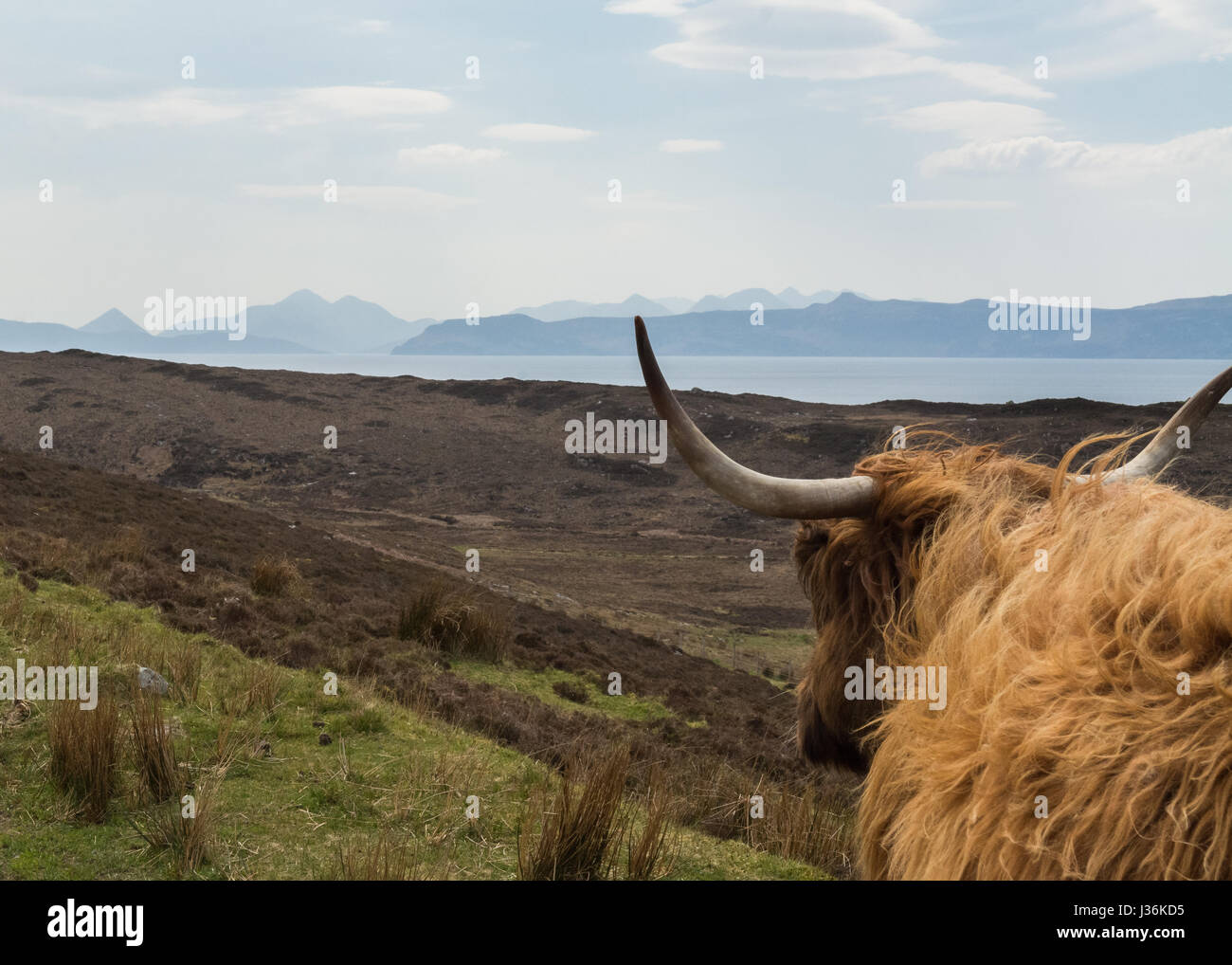 The Cuillins Cuillin range Isle of Skye seen through the horns of a Highland Cow near Applecross, Scottish Highlands - Stock Image