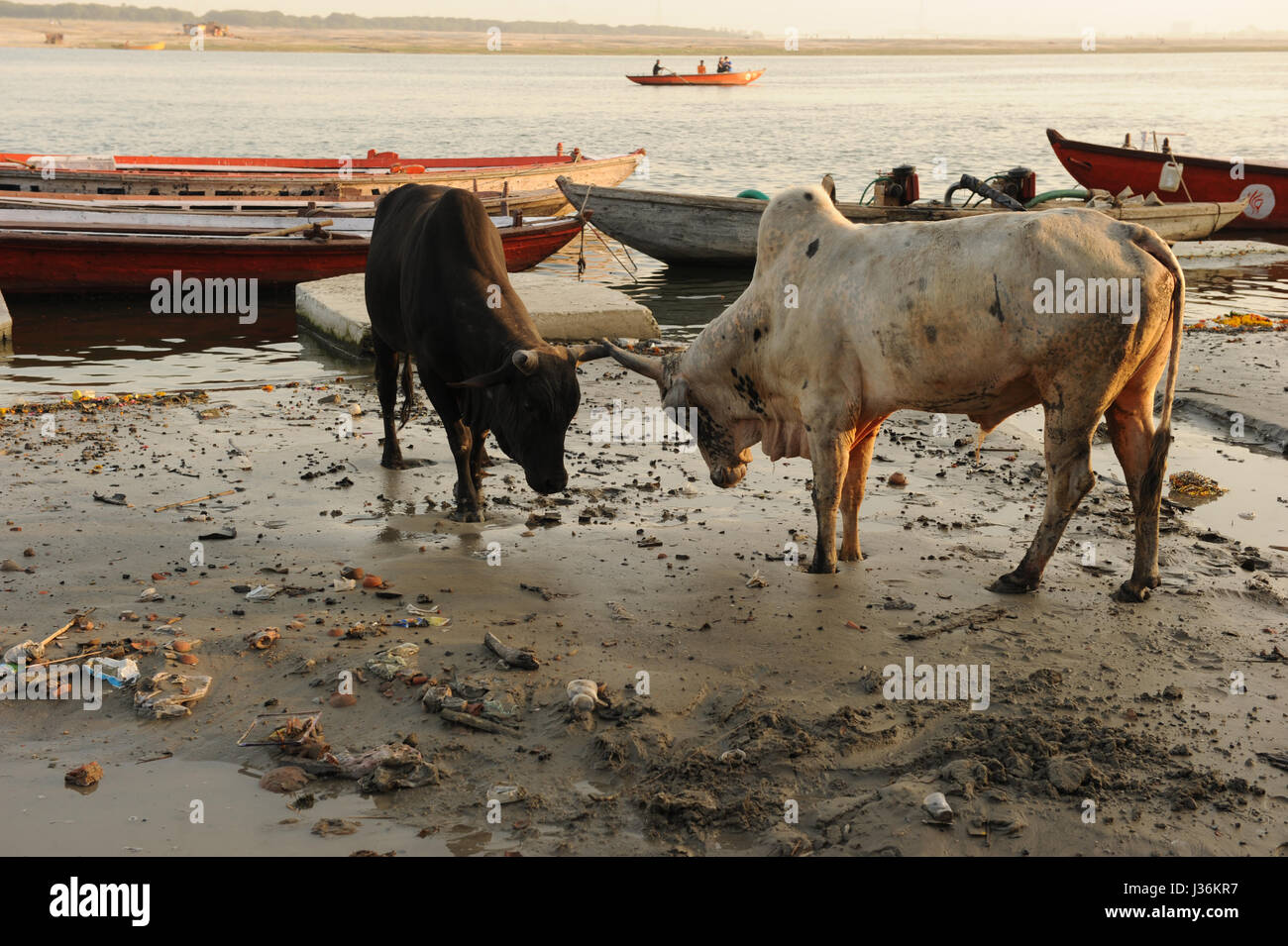 Cows on the bank of the river Ganges in Varanasi, Uttar Pradesh in India - Stock Image