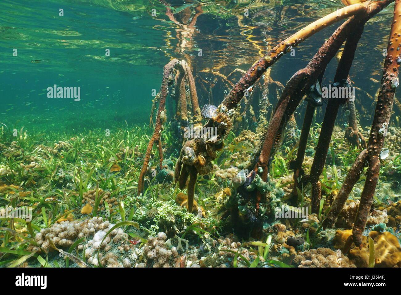 Roots of mangrove underwater with marine life, Atlantic ocean, Bahamas - Stock Image