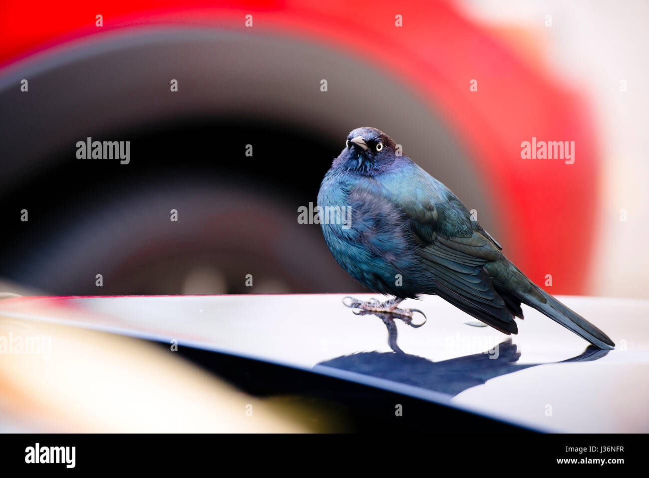 Small bird with a small beak and colored blue and black feathers sitting on the hood of the car in the parking lot - Stock Image