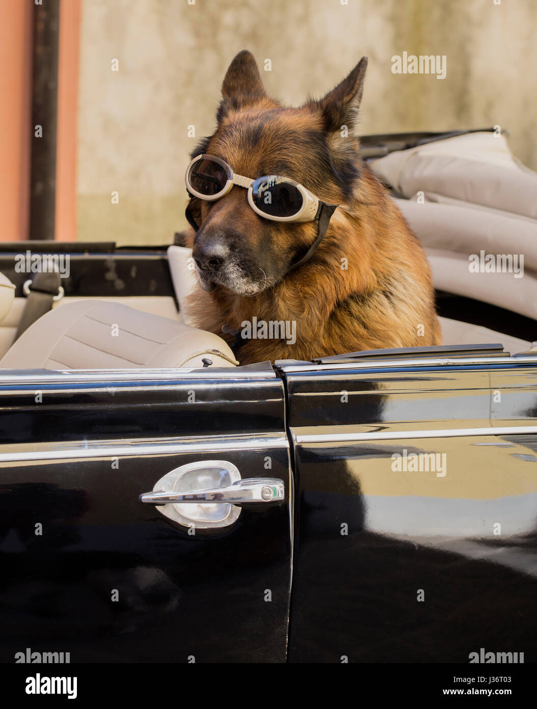 Dog in a car with goggles. - Stock Image