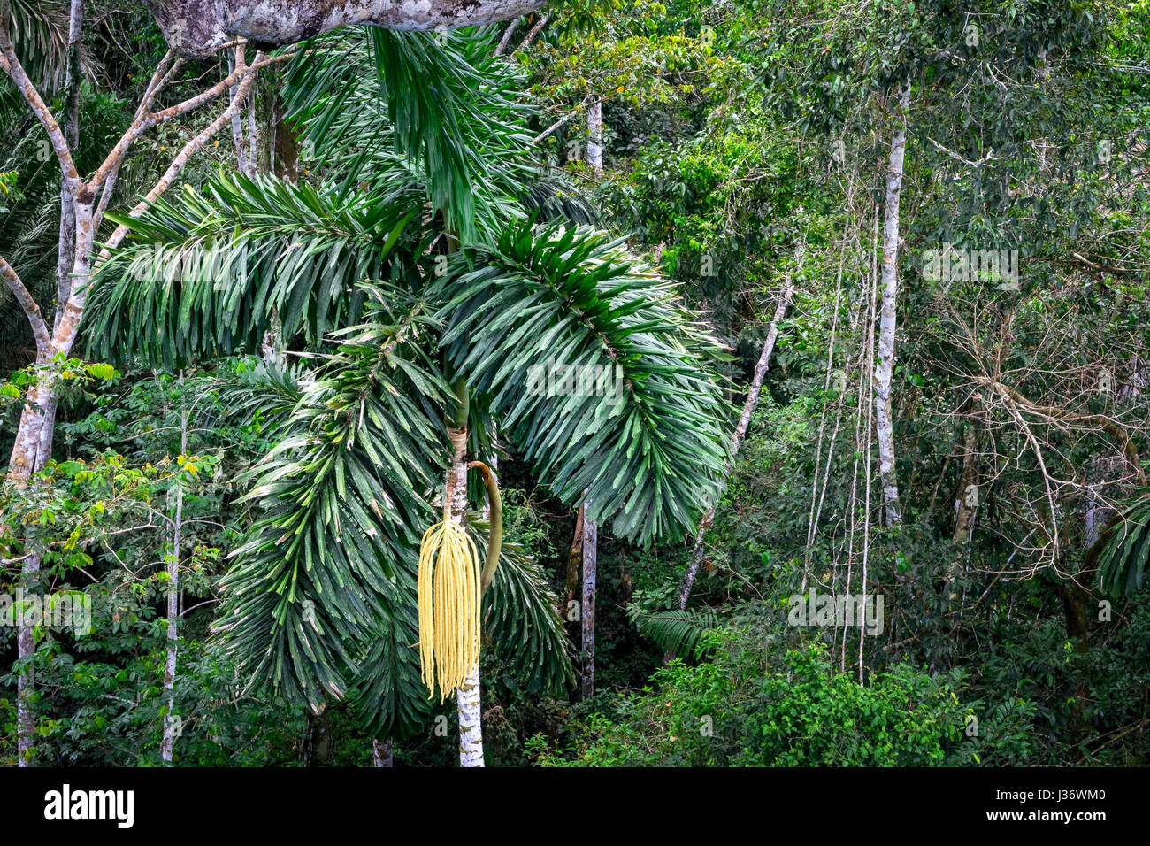 Photo from above: Close up of the jungle (Manu National Park in Peru) - Stock Image
