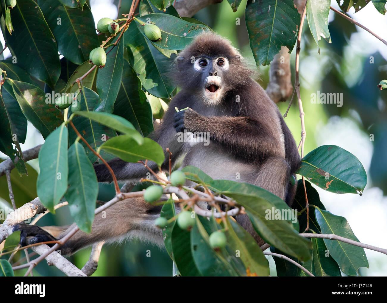 Dusky Leaf Monkey  Spectacled Langur, or Spectacled Leaf Monkey  (Trachypithecus obscurus) - Stock Image