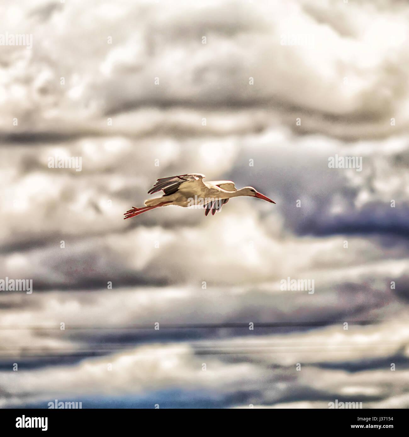 A white stork (Ciconia ciconia) Stock Photo