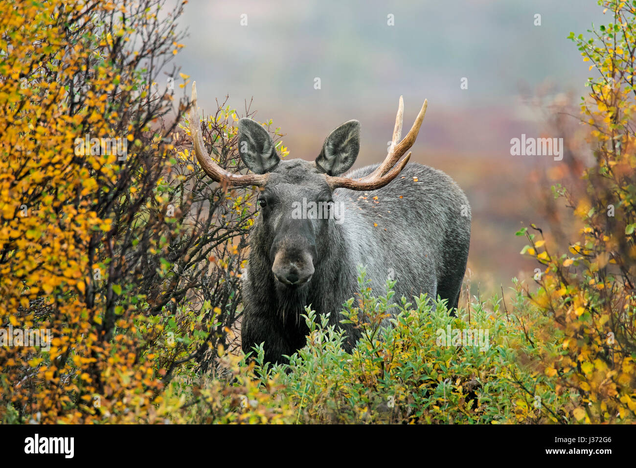 Moose (Alces alces) young bull with small antlers foraging in moorland with willow trees in autumn, Scandinavia Stock Photo