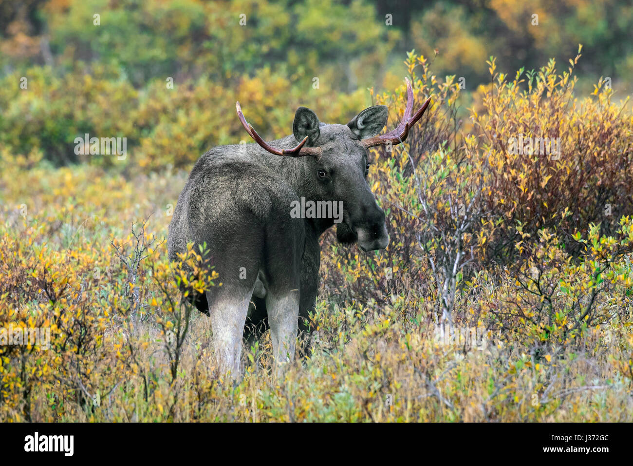 Moose (Alces alces) young bull with small antlers foraging among willow shrubs in moorland in autumn, Scandinavia - Stock Image