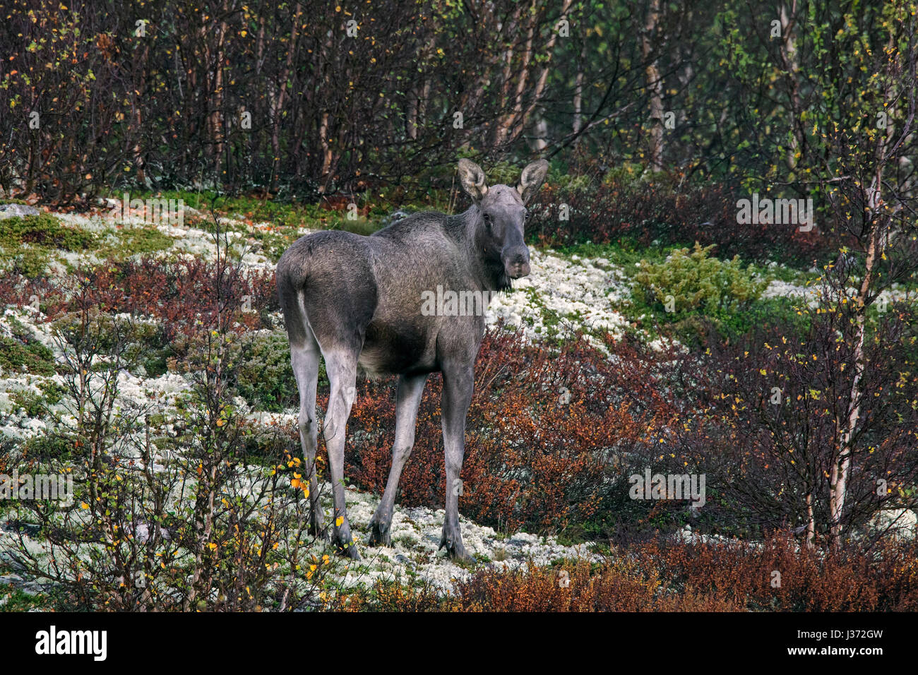 Moose (Alces alces) cow foraging on the taiga in autumn, Scandinavia - Stock Image