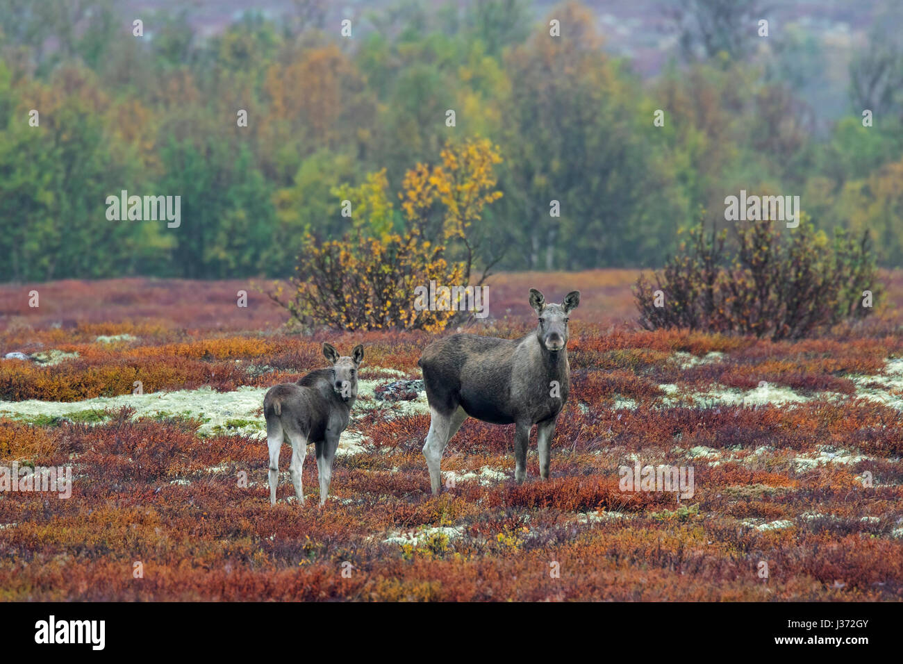 Moose (Alces alces) cow with calf foraging in moorland in autumn, Scandinavia - Stock Image