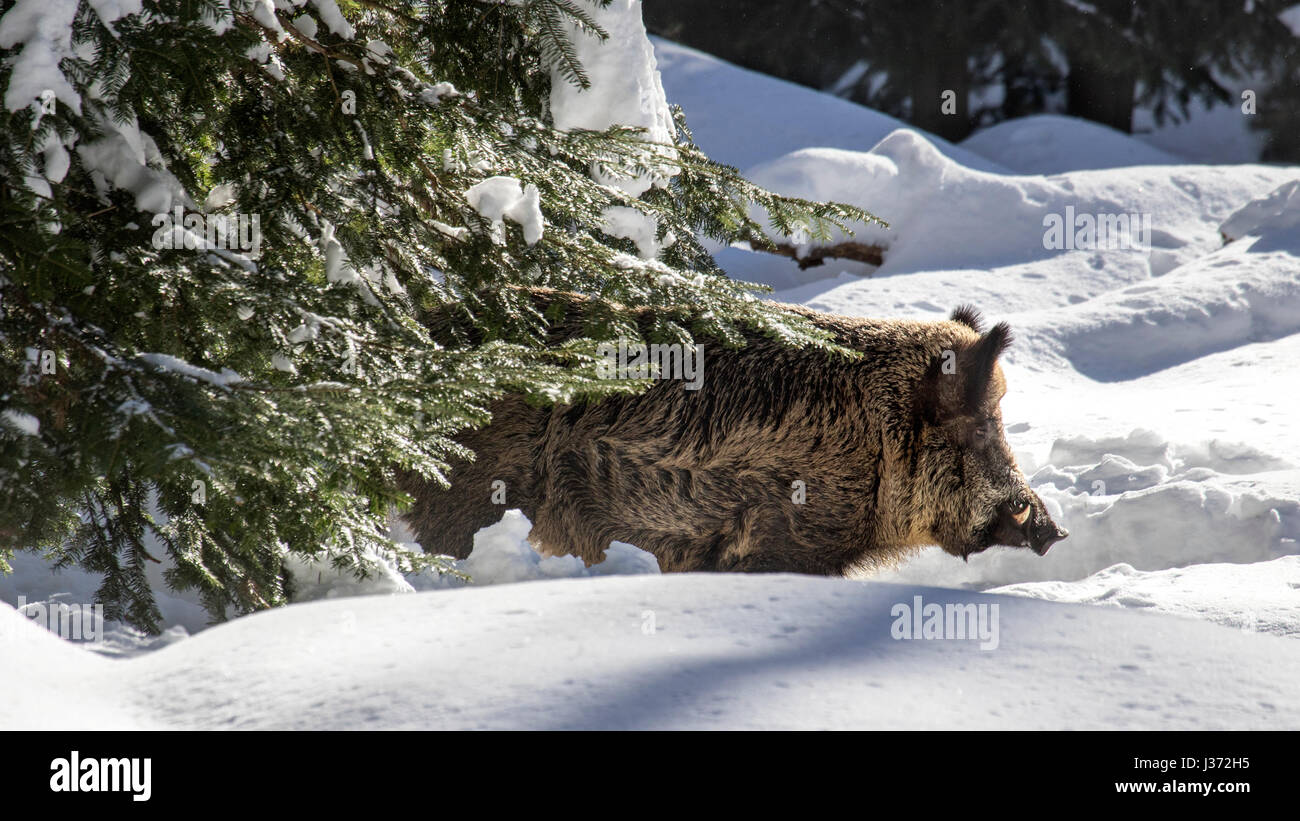 Wild boar (Sus scrofa) foraging in spruce forest in the snow in winter - Stock Image