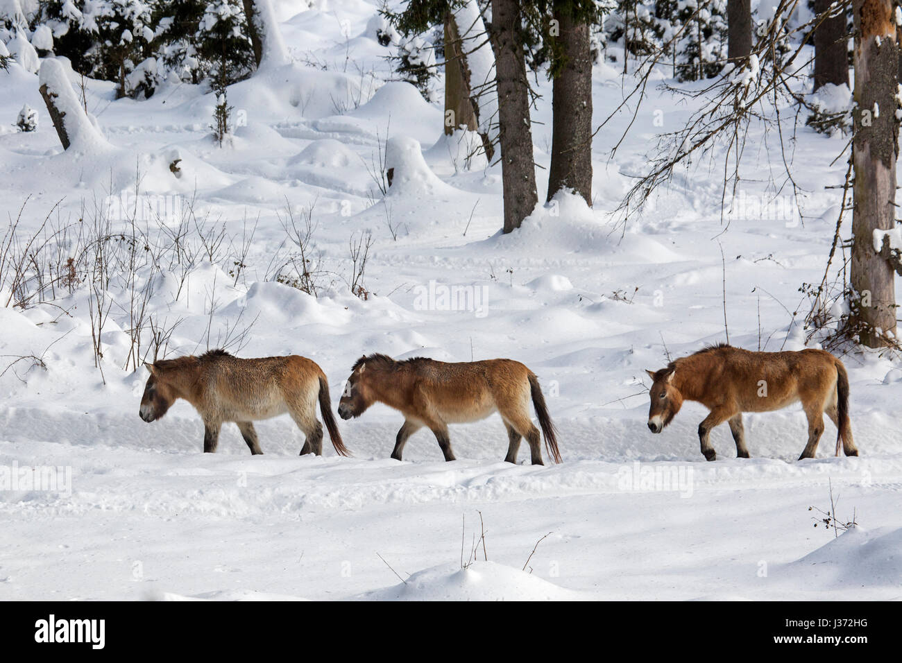 Three Przewalski horses (Equus ferus przewalskii) native to the steppes of Mongolia, central Asia, walking in the - Stock Image