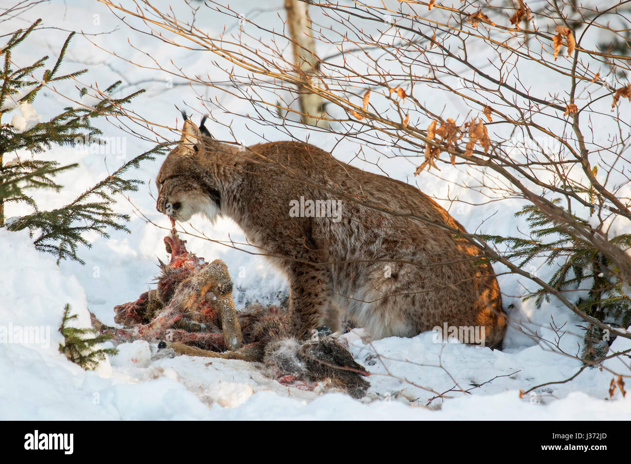 Eurasian lynx (Lynx lynx) feeding on killed roe deer in the snow in winter - Stock Image