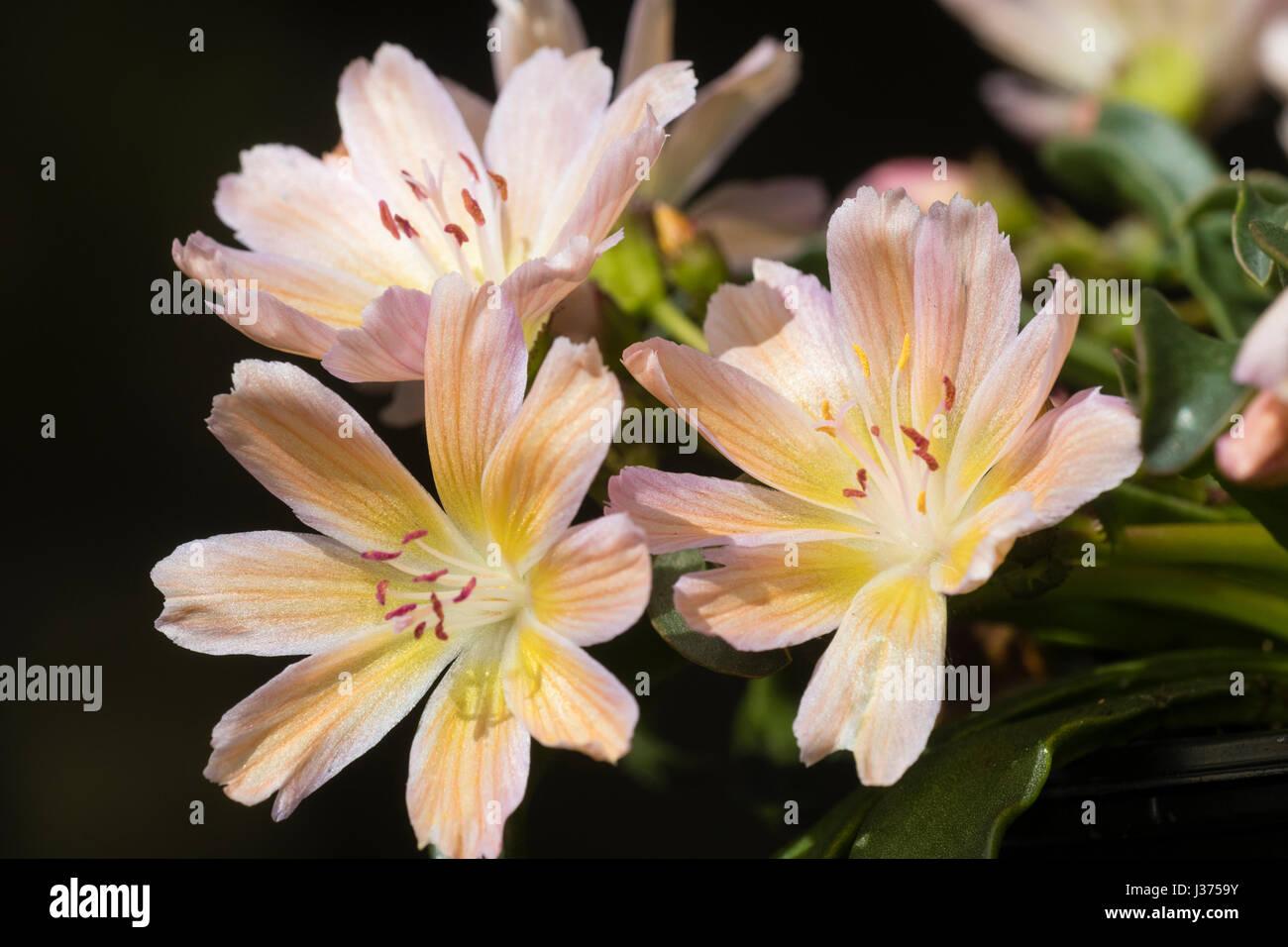 Peach coloured seedling of the Lewisia longipetala 'Little Tutti Frutti' seed strain - Stock Image