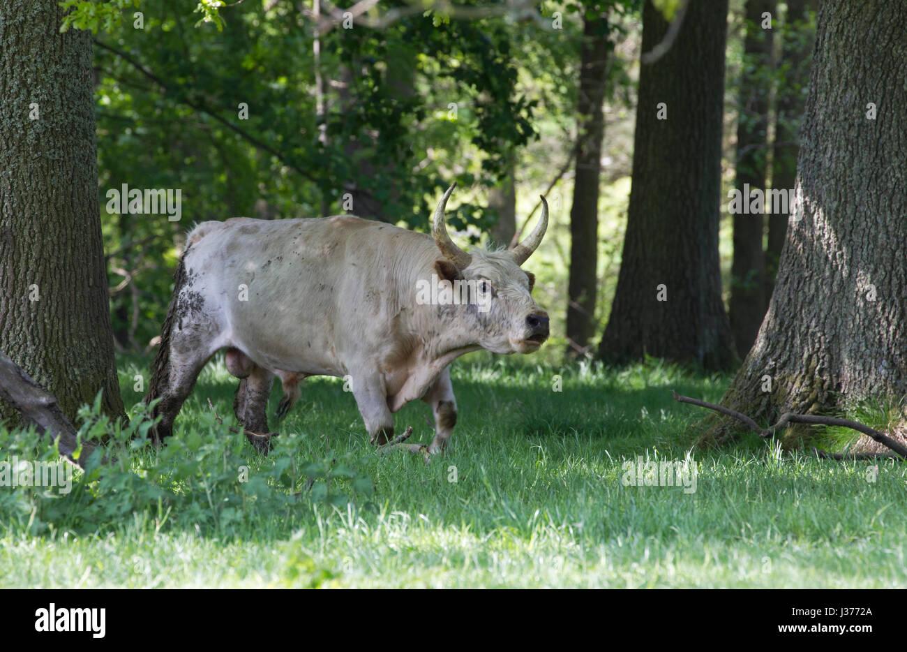 Chillingham  Wild White Cattle, single adult male roaring in woodland. Chillingham Estate, Northumberland, UK. - Stock Image
