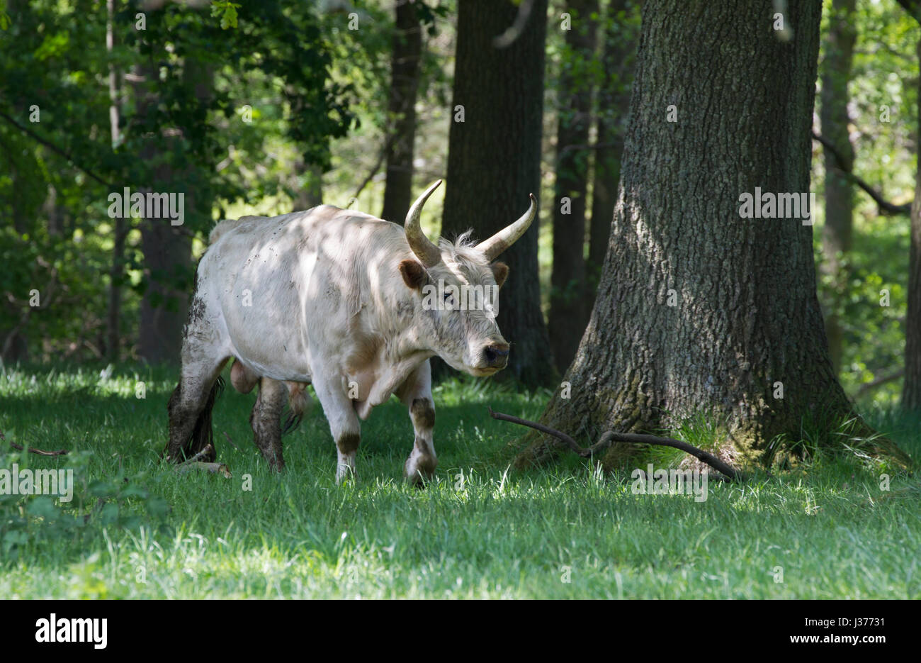 Chillingham  Wild White Cattle,  single adult male walking in woodland. Chillingham Estate, Northumberland, UK. - Stock Image
