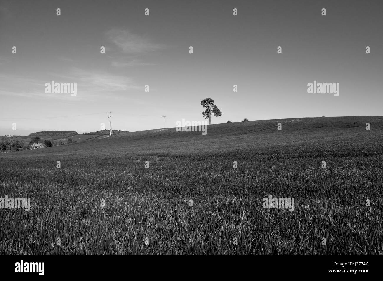 One lonely oak tree on a hill in the heart of England.  A farming landscape, UK. A wheat field in spring. - Stock Image