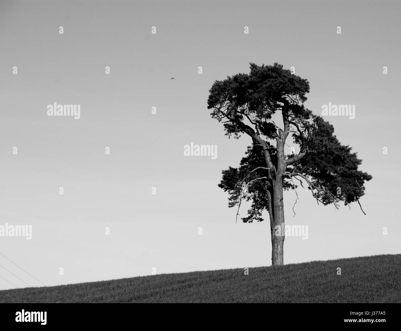 One lonely oak tree on a hill in the heart of England.  A farming landscape, UK. A wheat field in spring. Loneliness - Stock Image