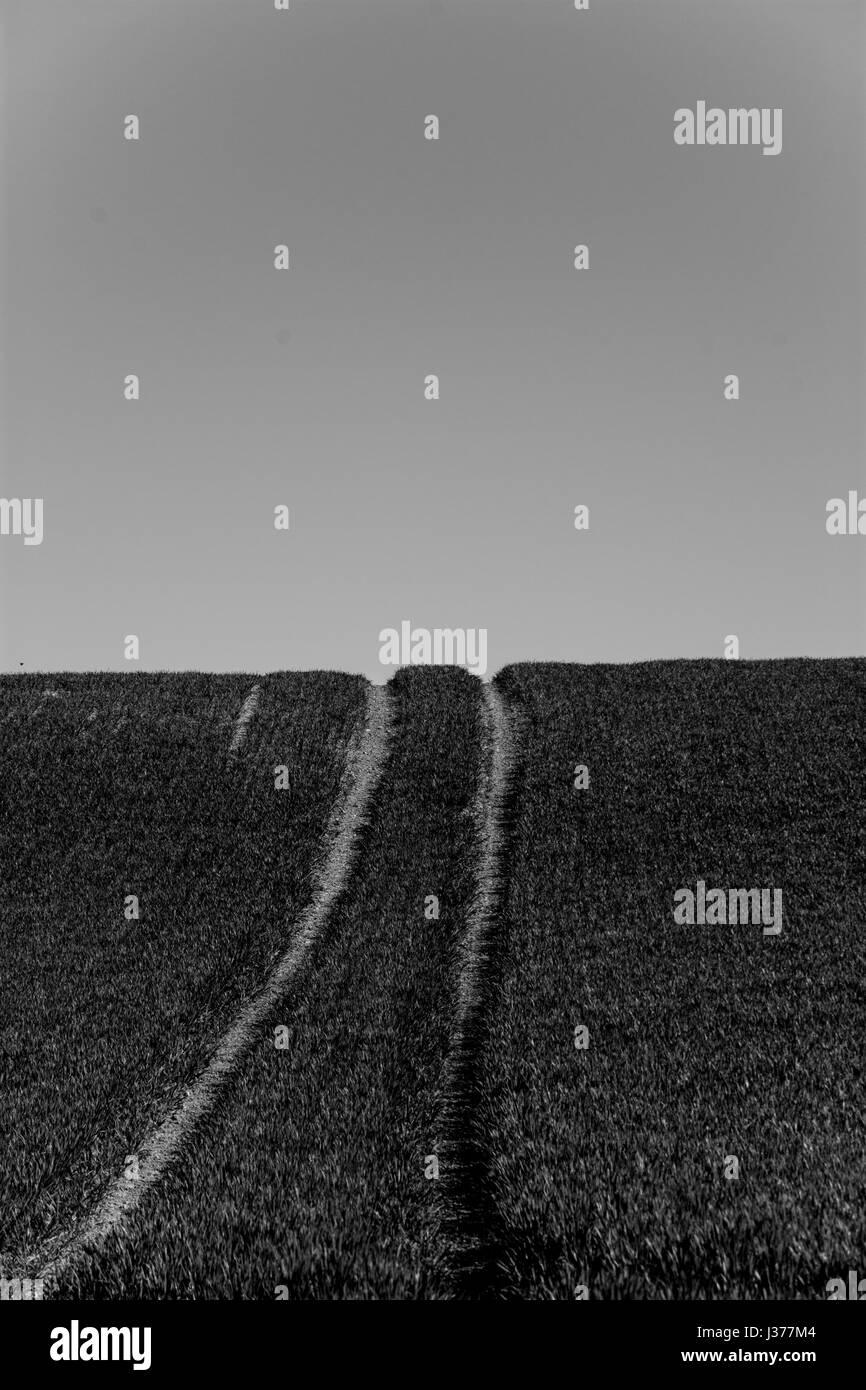 Tractor tracks going uphill in a young wheat field, UK. Black and white. - Stock Image