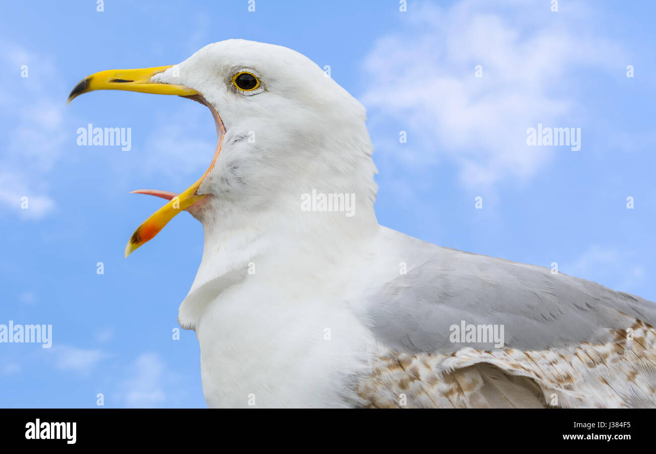 Seagull calling with its mouth wide open. - Stock Image