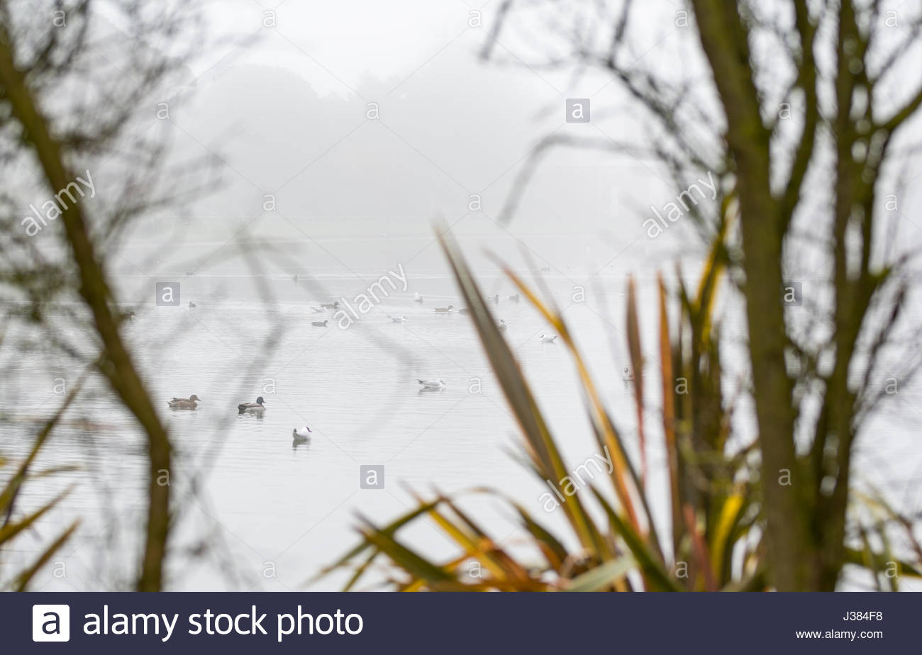 Looking through trees so a small lake with ducks swimming in heavy mist. - Stock Image