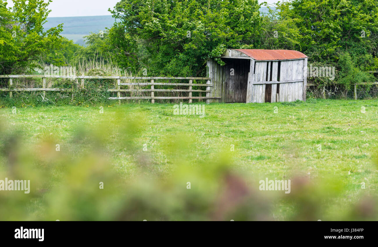 Abandoned wooden hut. Old derelict wooden hut in a field. - Stock Image