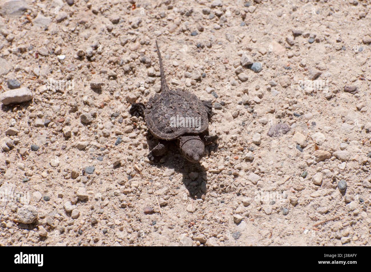 Vadnais Heights, MN. Vadnais lake regional park. Baby Snapping Turtle, Chelydra serpentina, heading to the lake. Stock Photo