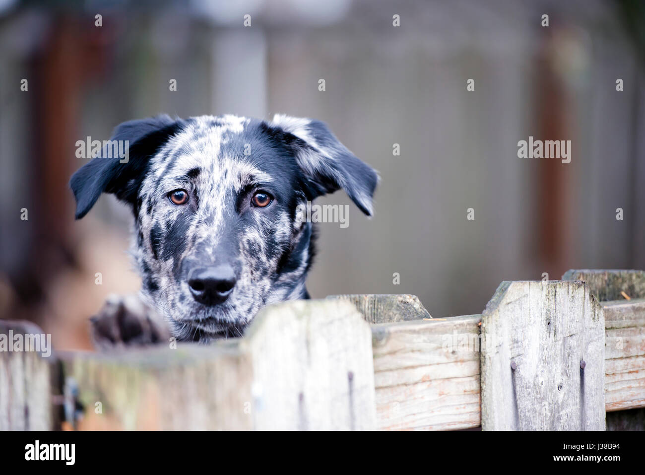 Spotted simple yard dog actively protects its territory and the home of the owners of the intruders and robbers - Stock Image