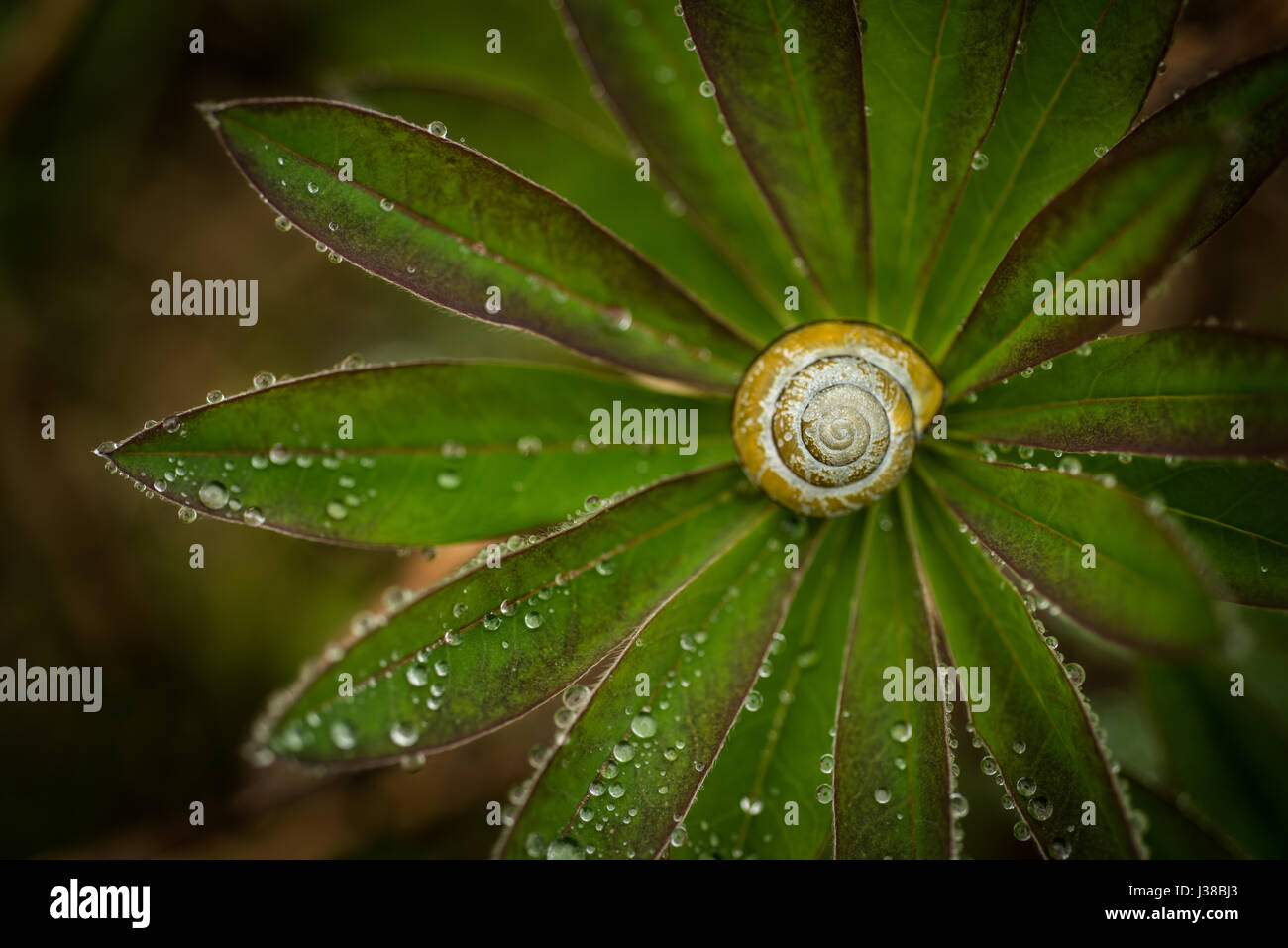 Snail shell in the center of a leaf plant with water droplets. - Stock Image