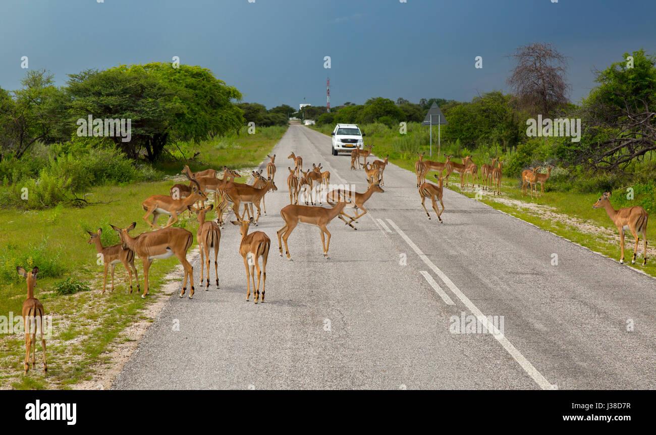 Black-faced impala Aepyceros melampus crossing road at Etosha N.P. Namibia - Stock Image