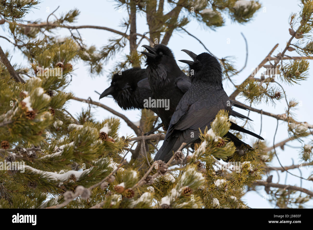Common Raven / Kolkraben ( Corvus corax ) in winter, perched in a conifer tree, calling loudly, showing courting - Stock Image