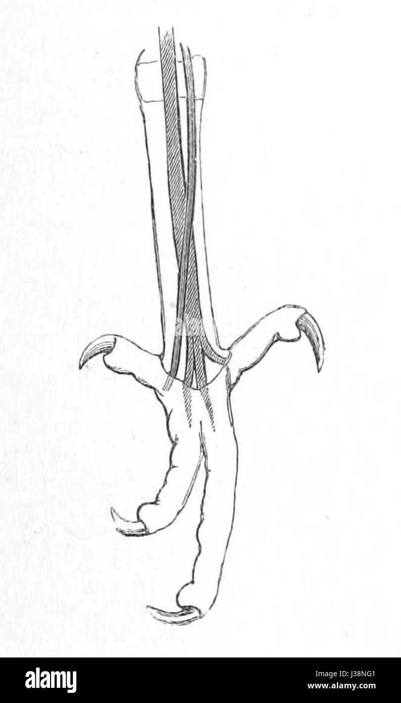 Crotophaga sulcirostris foot 1881 - Stock Image