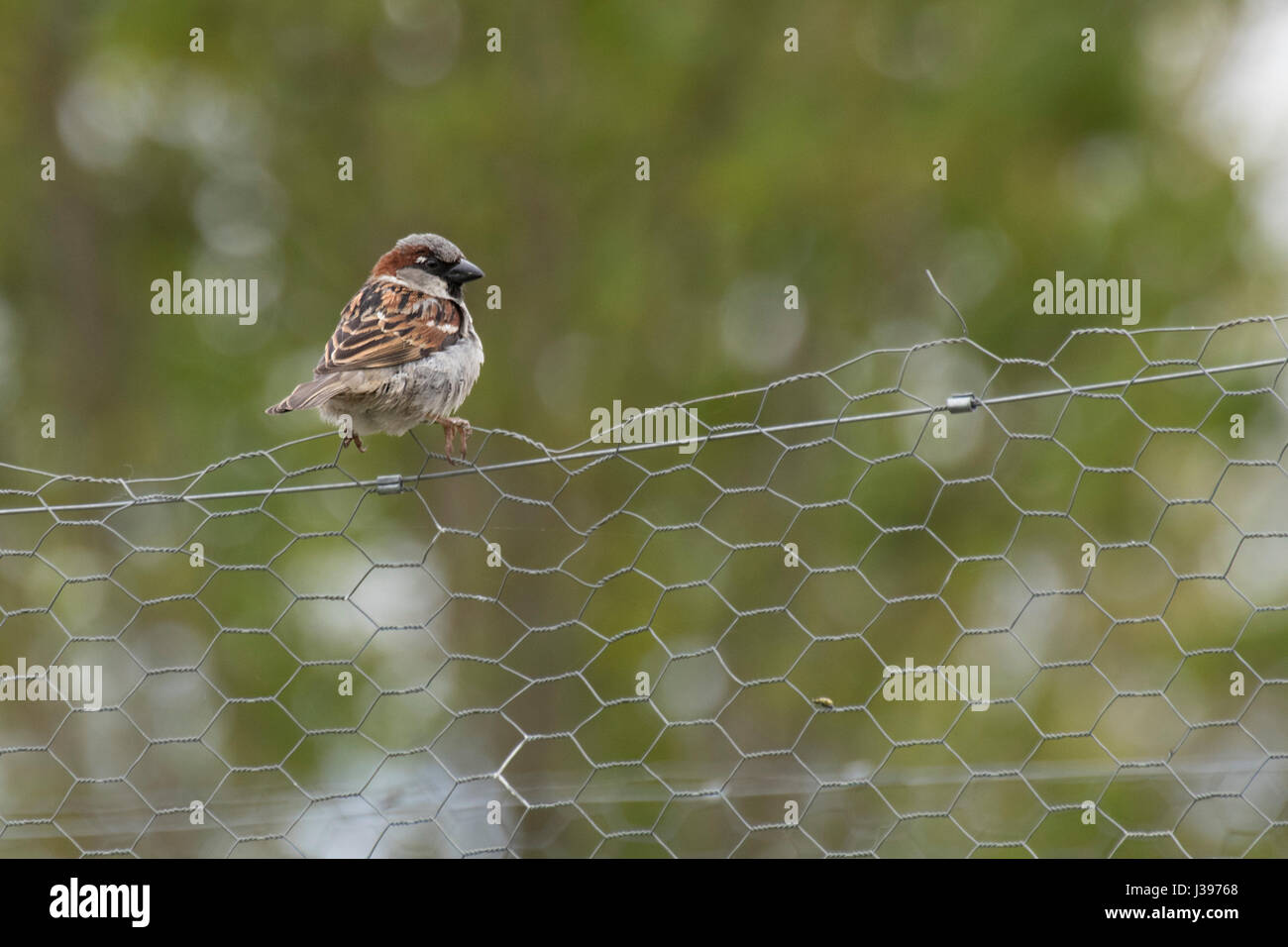 House sparrow perched on chicken wire fence Stock Photo