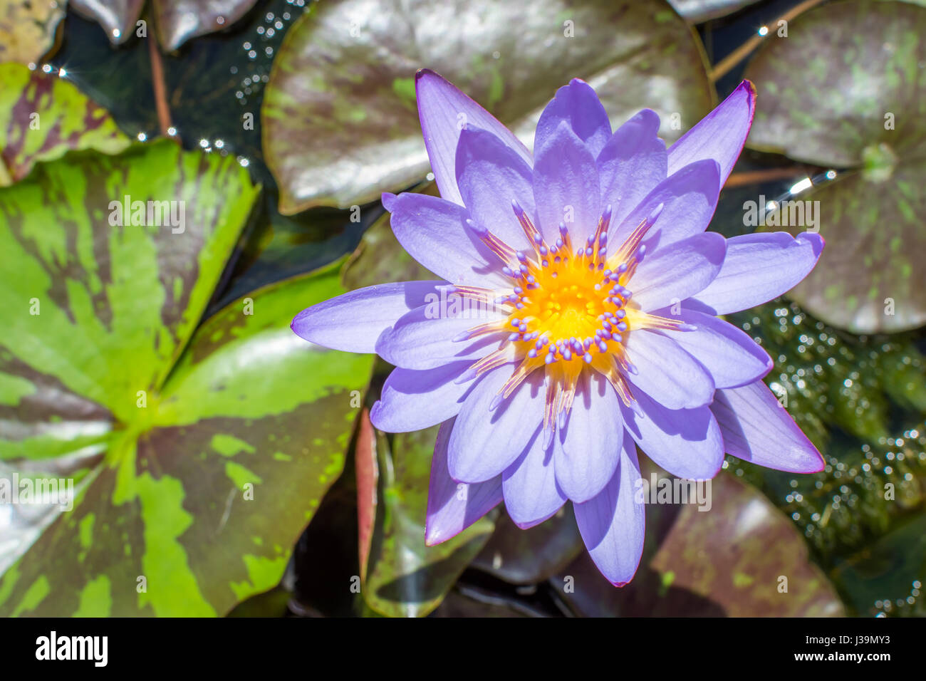 Sacred narcotic lily of the nile stock photos sacred narcotic lily a blue lotus also known as the blue egyptian lotus sprouting from lily pads izmirmasajfo