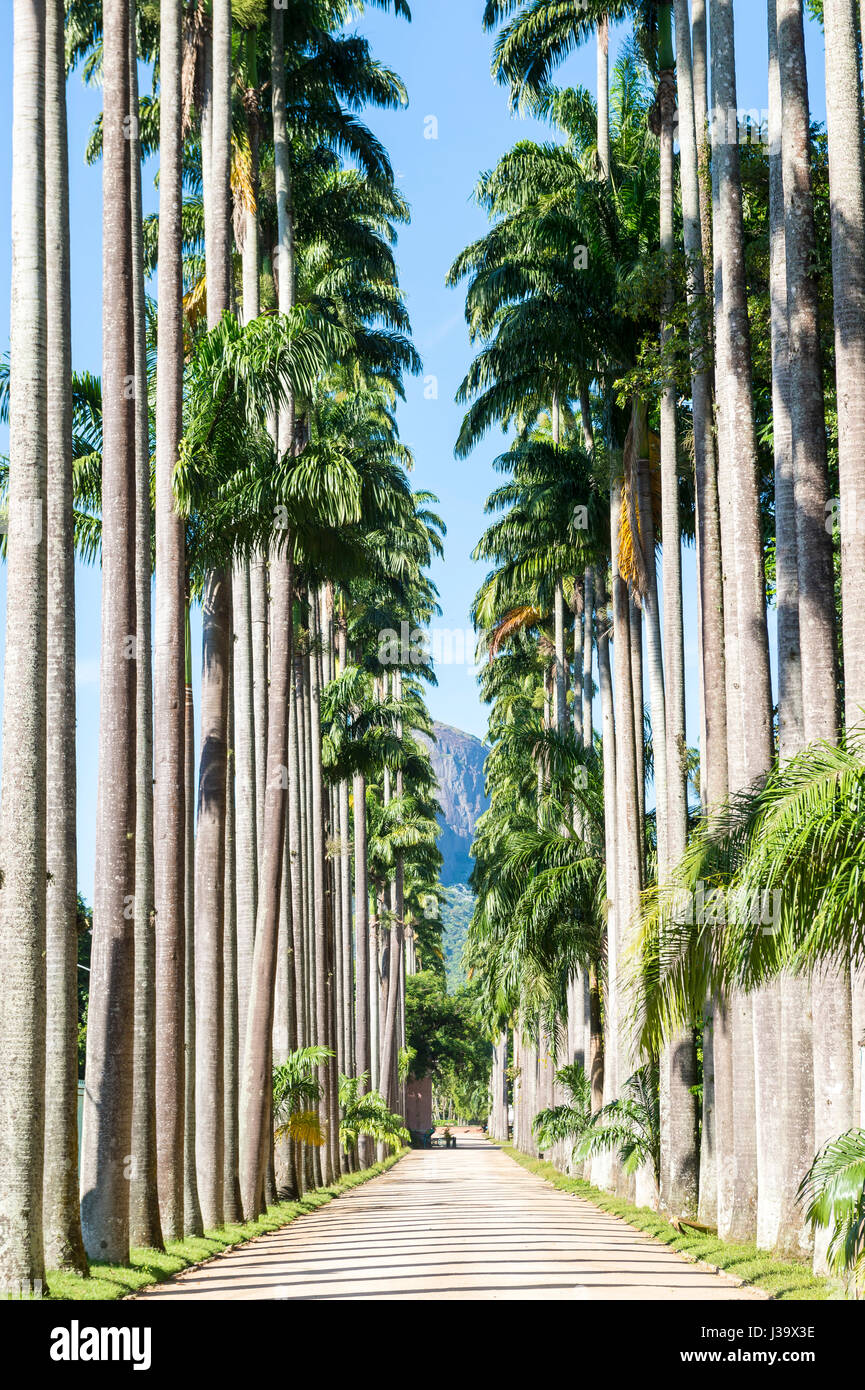 Scenic daytime view along an avenue of tall royal palm trees in Rio de Janeiro, Brazil - Stock Image