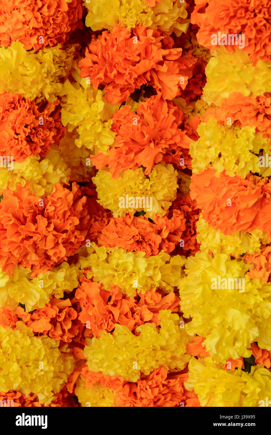 Orange and yellow marigold flower garlands on sale in Thalassery (Tellicherry), Kannur district (Cannanore), Kerala, - Stock Image