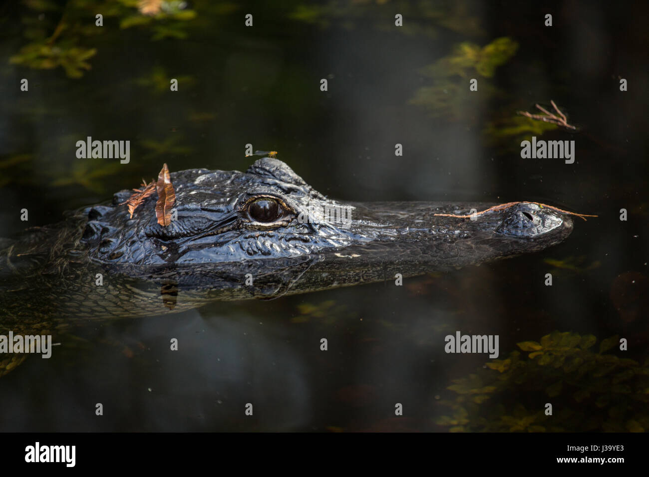 Alligator swiming in water in  the Florida Everglades - Stock Image