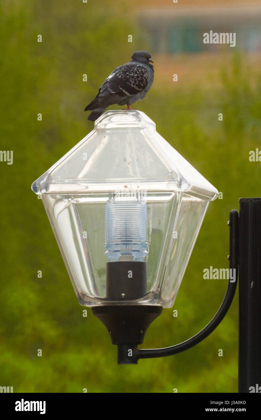 Birds of modern megacities. The dove sits on a lamp. - Stock Image