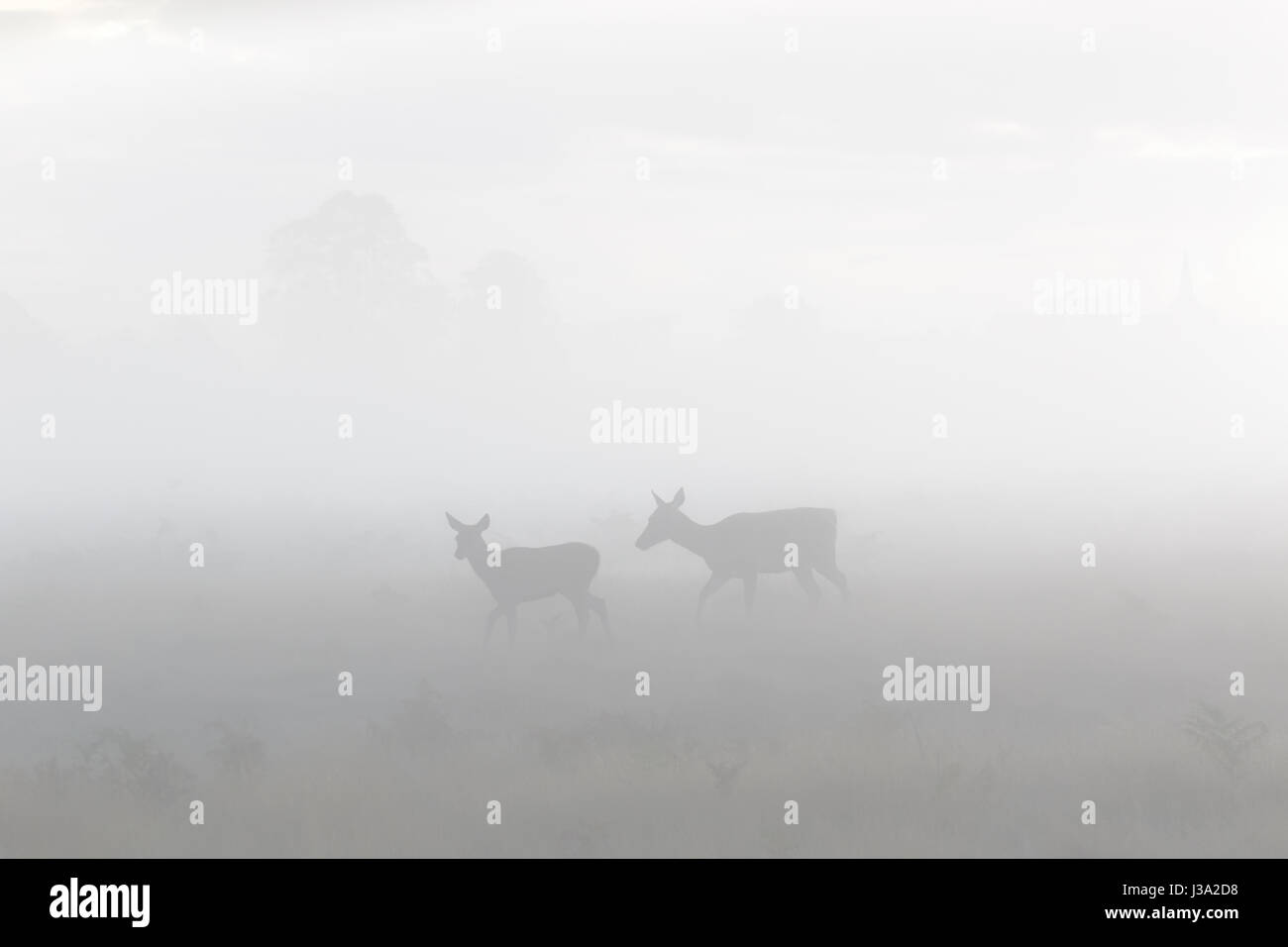 Red Deer (Cervus elaphus) hind mother and young calf roaming in the morning mist or fog - Stock Image